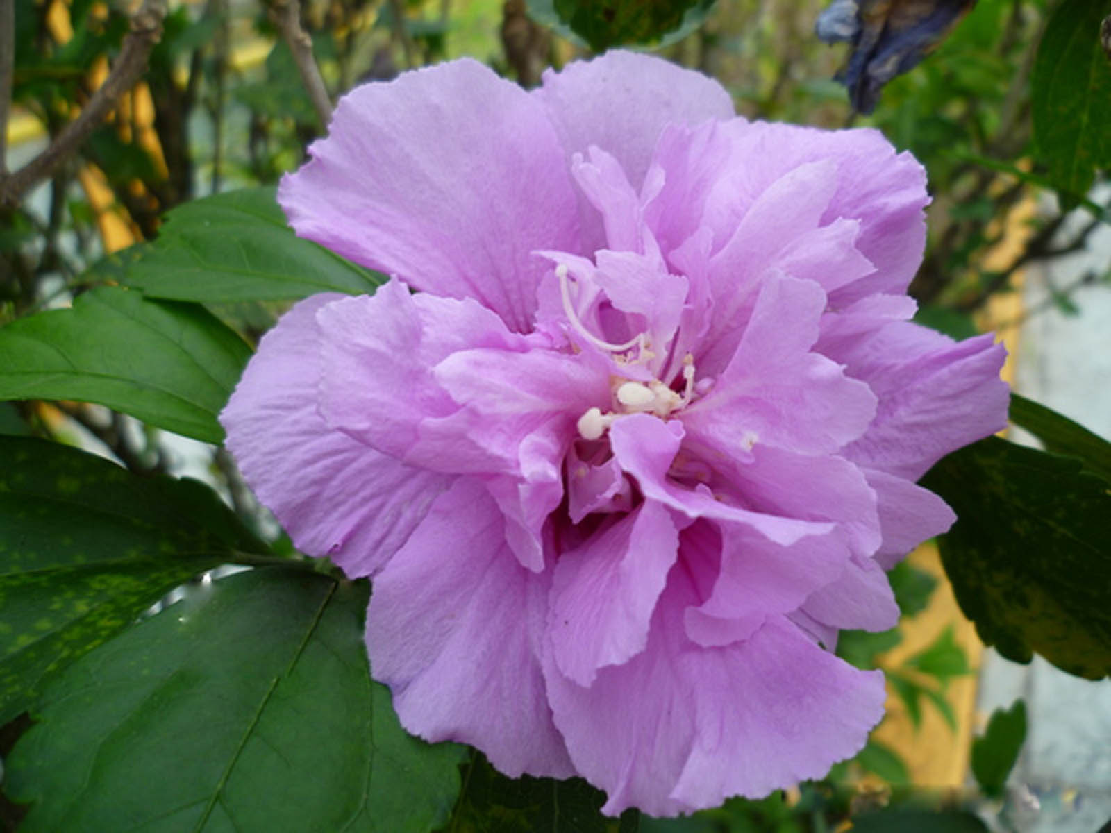 Pictures Of Purple Hibiscus Flowers Rock Cafe