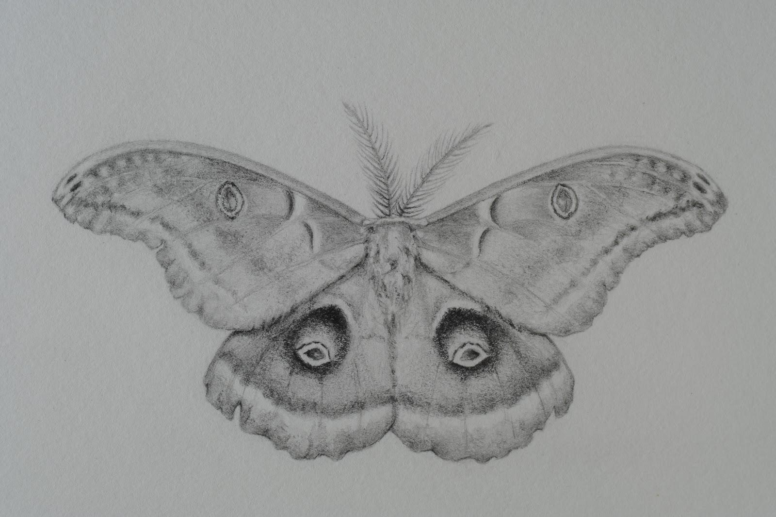 Moth drawing - photo#39