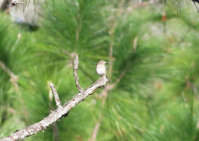 Bachman's Sparrow - Three Lakes WMA, Florida
