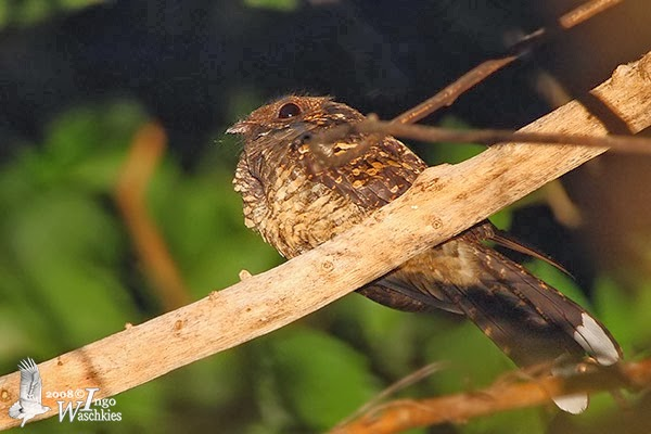 Foto Burung Cabak sulawesi di TN Tangkoko Mengenal Burung Cabak Sulawesi