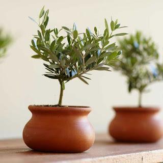 ελια φυτό