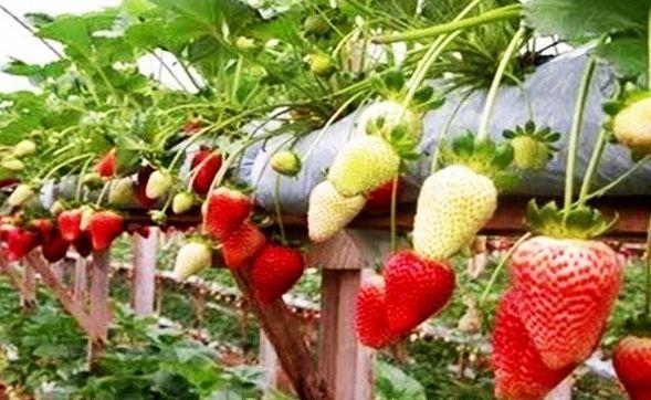 https://tipspetani.blogspot.com/2018/10/cara-menanam-dan-budidaya-buah.html