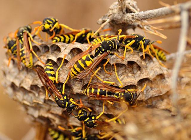 Wasp Venom As An Antibiotic Drug