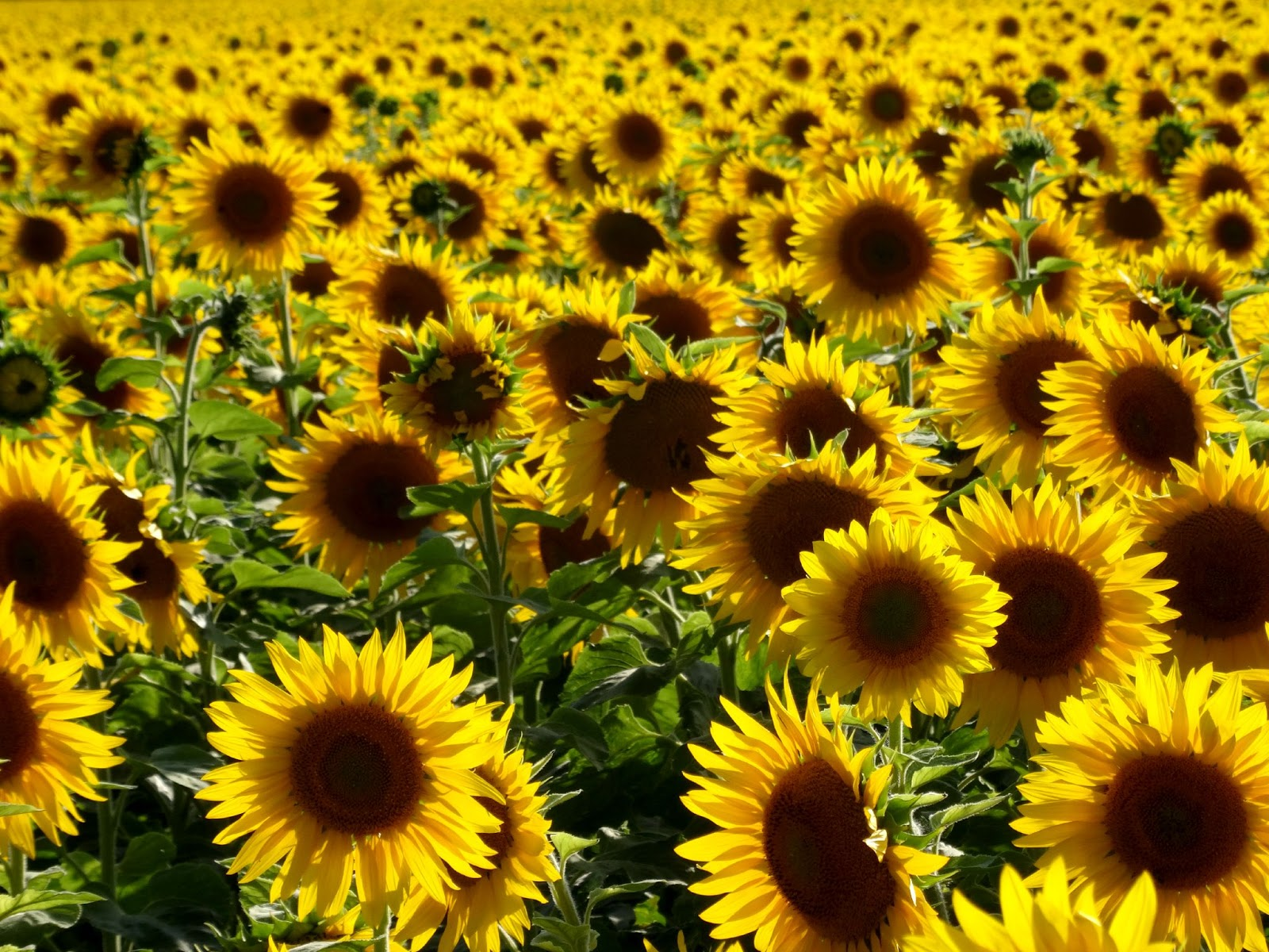 millions of sunflowers