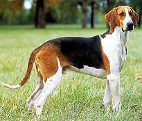 Anglo-Français de Petite Vénerie-pets-dogs-dog breeds