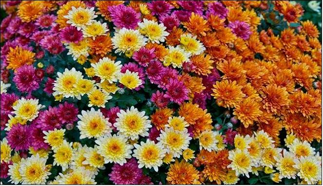 Download 99 Koleksi Gambar Bunga Seruni HD Gratid