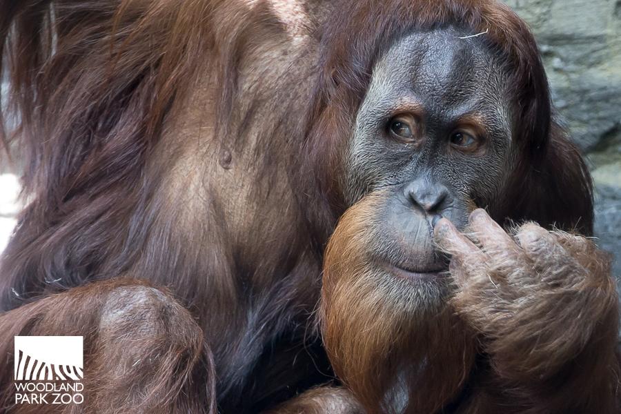 Orangutan Godek