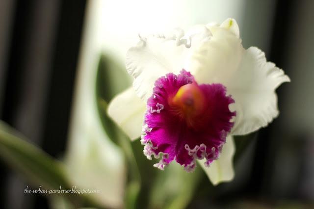 Grow Cattleya orchidsin the city | The Urban Gardener