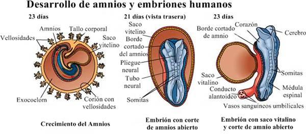 Sistema nervioso humano desarrollo del embrión humano