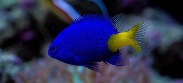 Gambar Ikan Damselfish - Budidaya Ikan