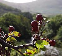 Berries Northumberland