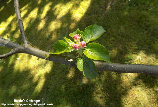 Apple Blossom appears