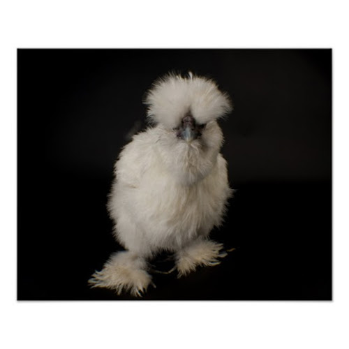 A Silkie Bantam Chicken | Cute Photo Poster