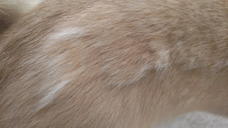 light brown patch of dog hair with small sections of lighter hair about to fall out