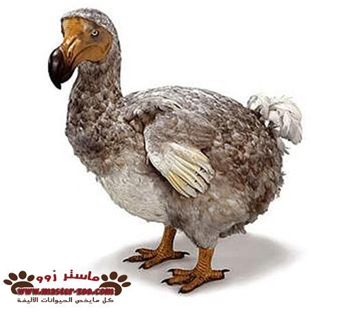ماذا تعرف عن طائر الدودو بالفديو Raphus cucullatus