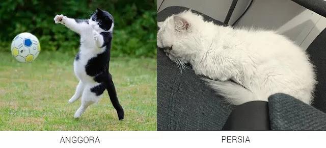 Gambar perbedaan kucing anggora dan persia medium dalam Aktivitasnya