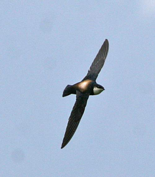 Indian birds - Picture of White-throated needletail - Hirundapus caudacutus