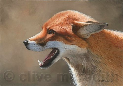 Red Fox Portrait 8  25