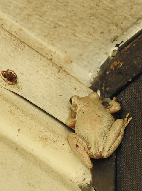 White frog climbing the siding of our home to get to a sheltered corner.