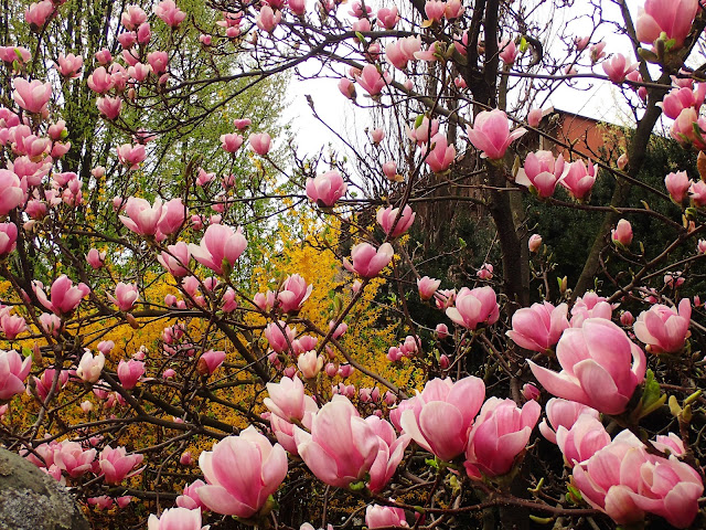 Cieszyńskie magnolie 2018 (#cieszynlove)