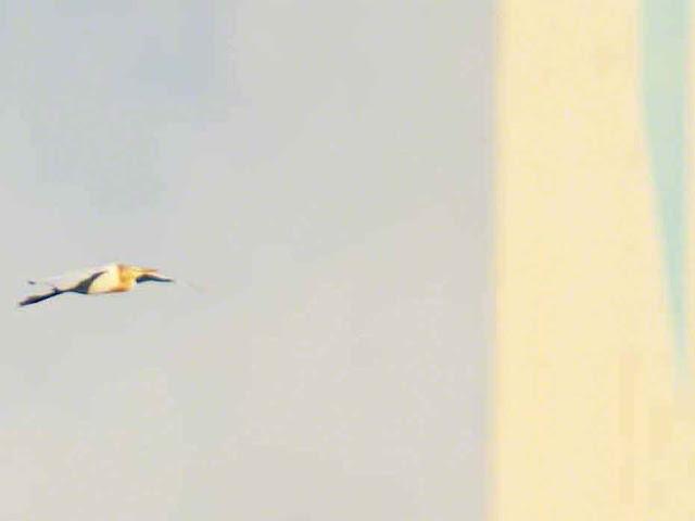 bird, Cattle Egret, flight, Kin Town, Okinawa, power-plant