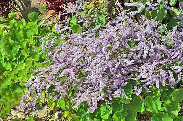 Iboza Riparia, plants, flowers