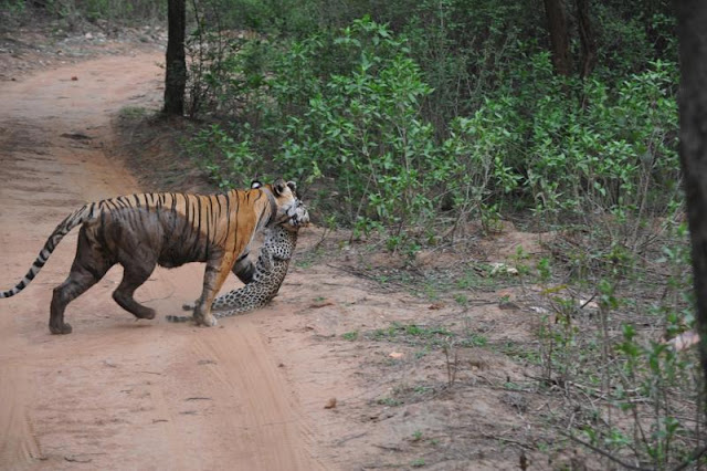 Visitors to Sariska Tiger Reserve witnessed a rare hunt recently – a tiger taking down a leopard and walking off with its booty.   The rare encounter was caught on camera and the footage has gone viral.  The video shows a short fight between the two, partly hidden in the trees. The triumphant tiger crosses the road a few seconds later, carrying the victim in its mouth.    Though the video posted on YouTube has been titled, Clash of the titans, it should be  noted that the leopard never stood a chance with the tiger.