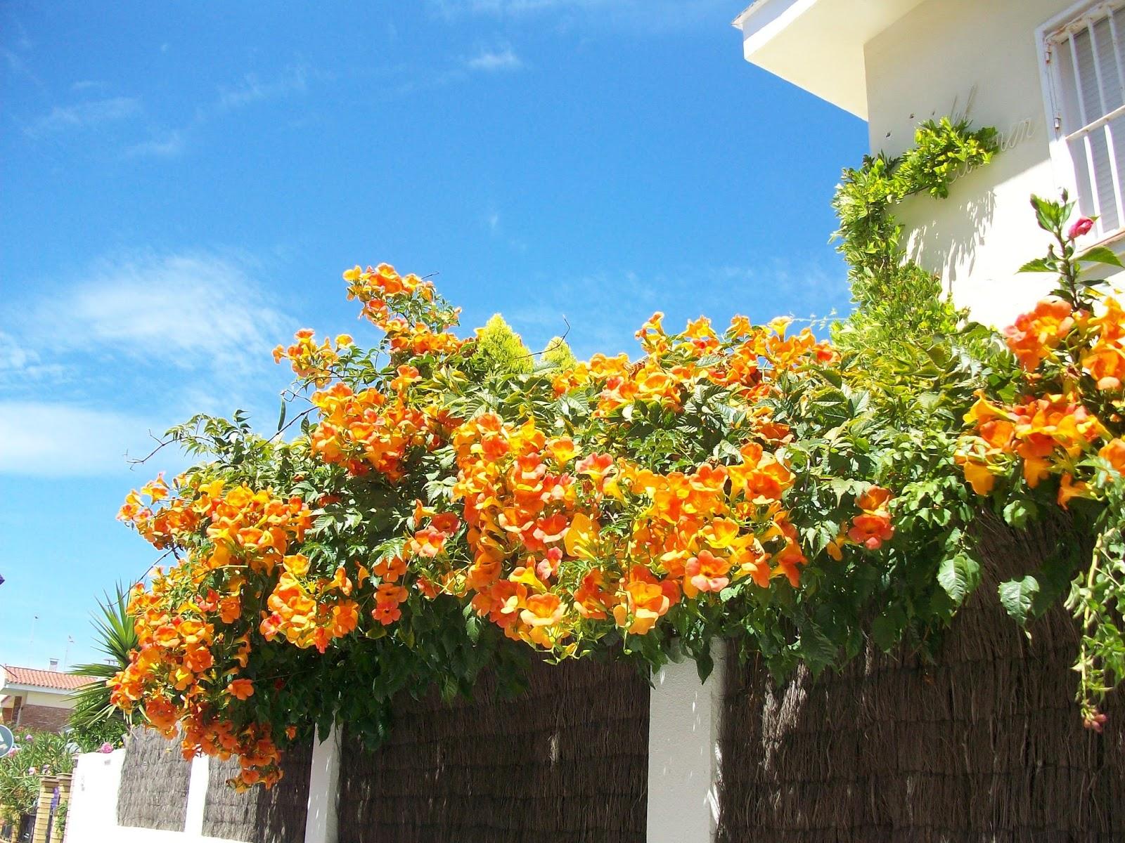 more photos fd852 4c471 Donna di Piante: Vivaci campanelle estive: le Bignonie