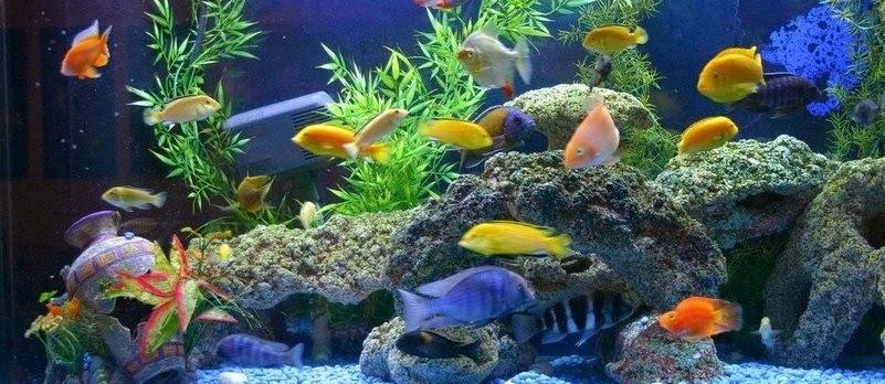 Cara Desain Hiasan Aquarium Untuk Ikan Koki yang Baik dan Sesuai Standar Perawatan