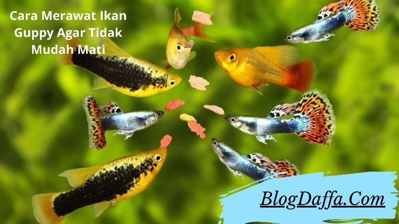 Cara Merawat Ikan Guppy Agar Tidak Mudah Mati