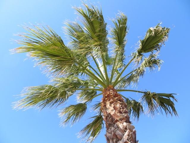 palm tree alcudia mallorca