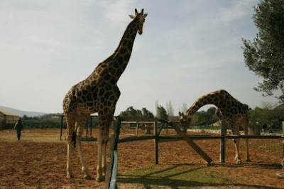 H σπουδαία ανακάλυψη για το πιο ψηλό ζώο του πλανήτη