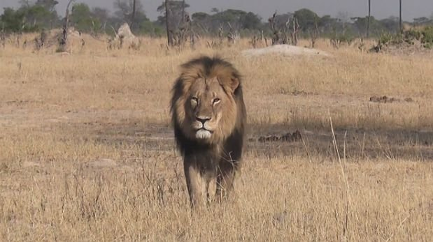 An American killed Cecil, the most famous lion in Zimbabwe