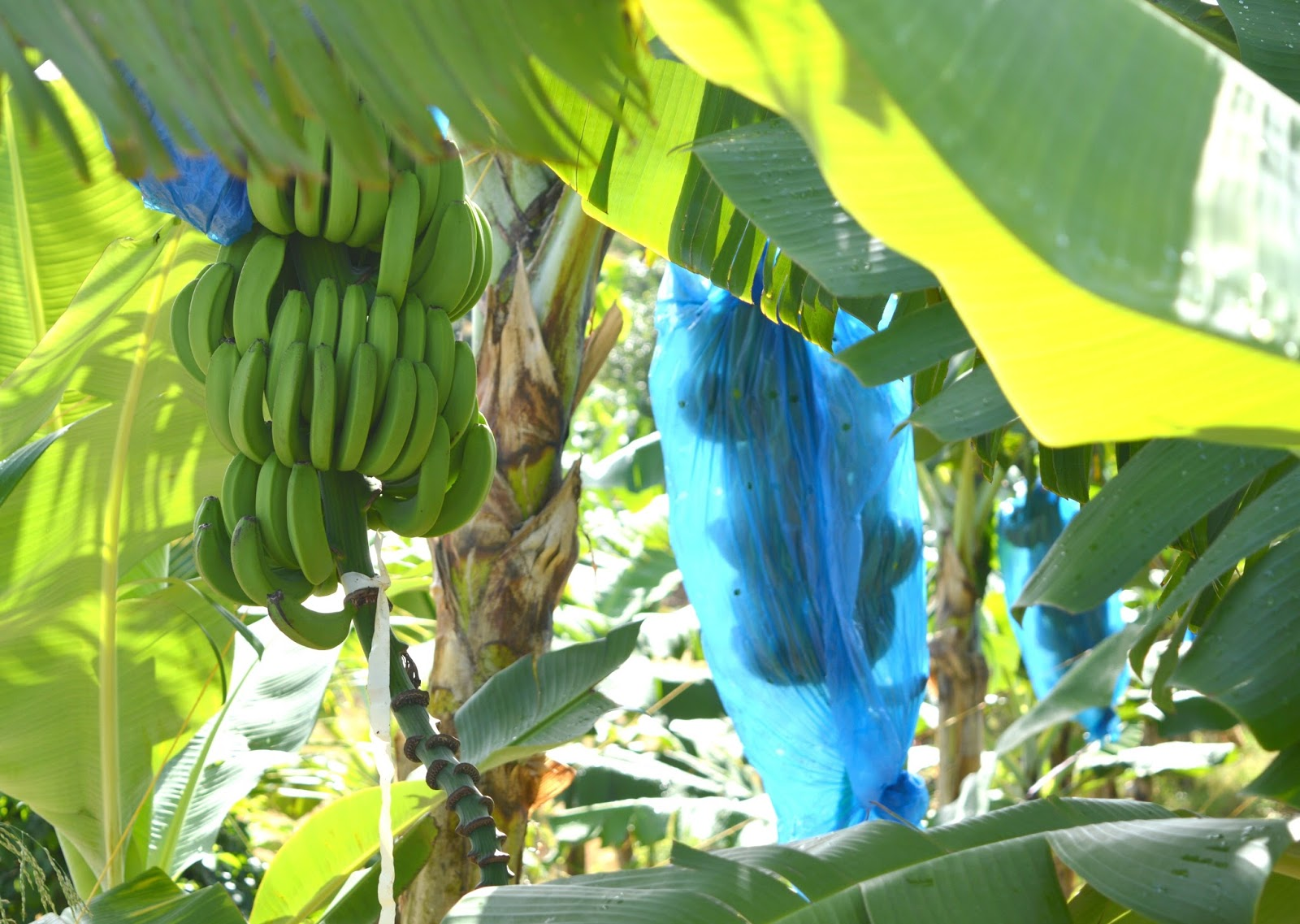 Roseau Valley Banana Plantation St Lucia