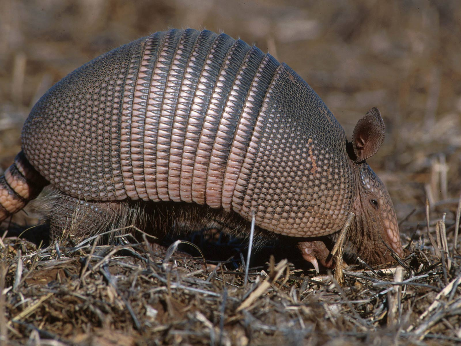 what animal has a carapace