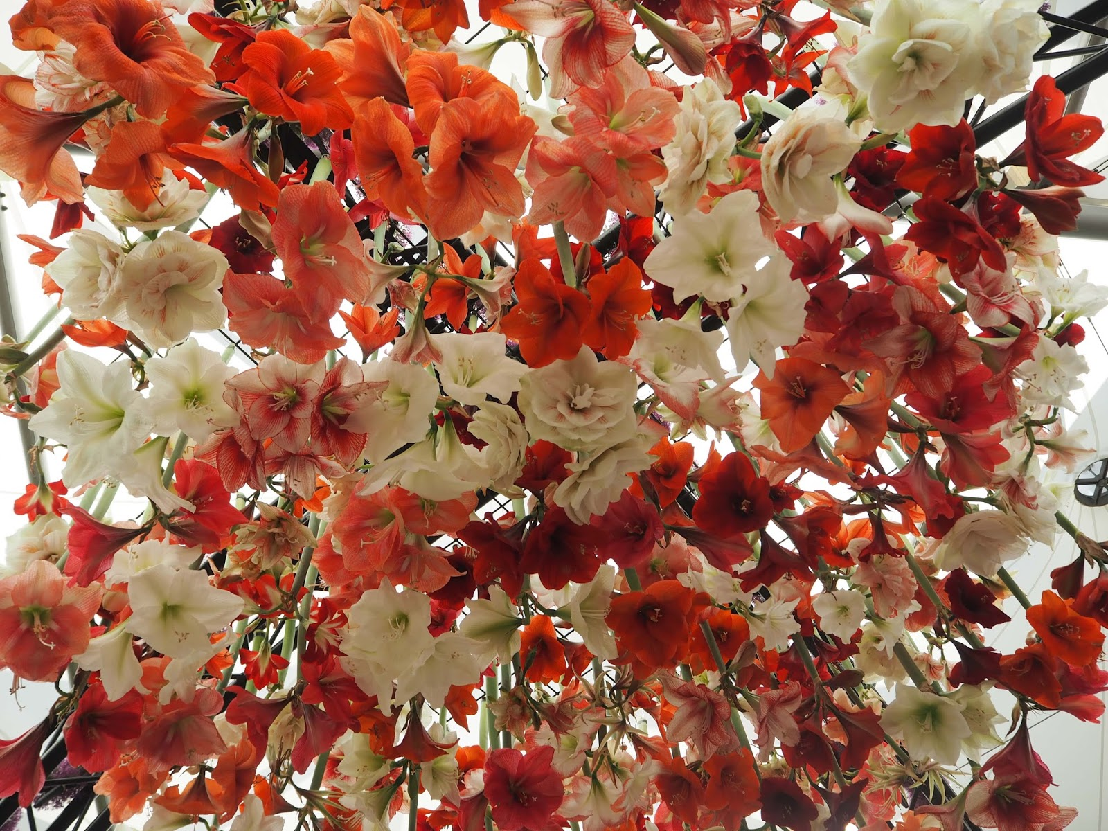 Floral Marquee, Chelsea Flower Show 2017, amaryllis