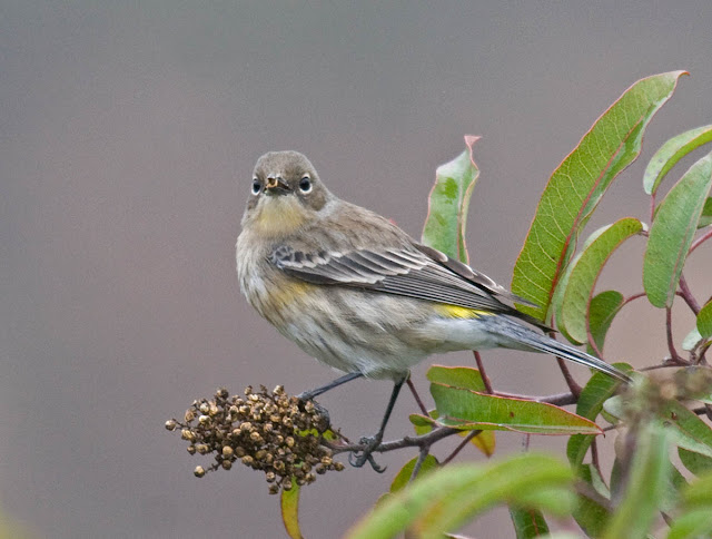 Non-breeding Yellow-rumped Warbler (Audubon's form)