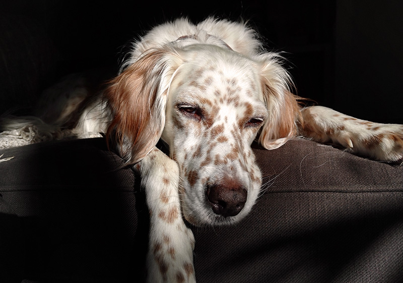 Elsa, English Setter dog, laying flat on a sofa looking tired