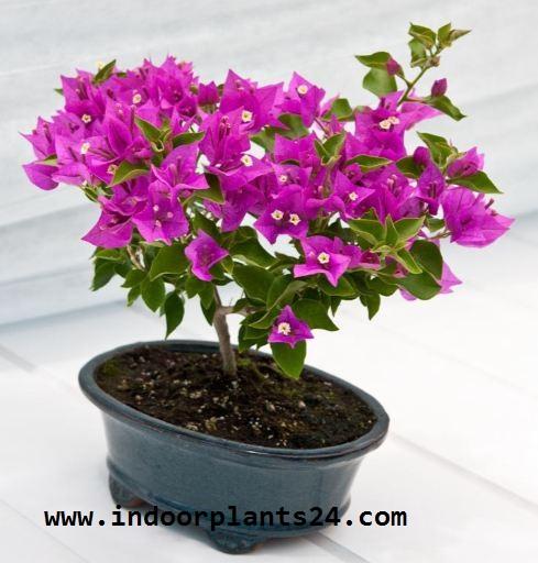 Paper Flower Plant