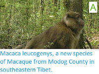 http://sciencythoughts.blogspot.co.uk/2015/04/macaca-leucogenys-new-species-of.html