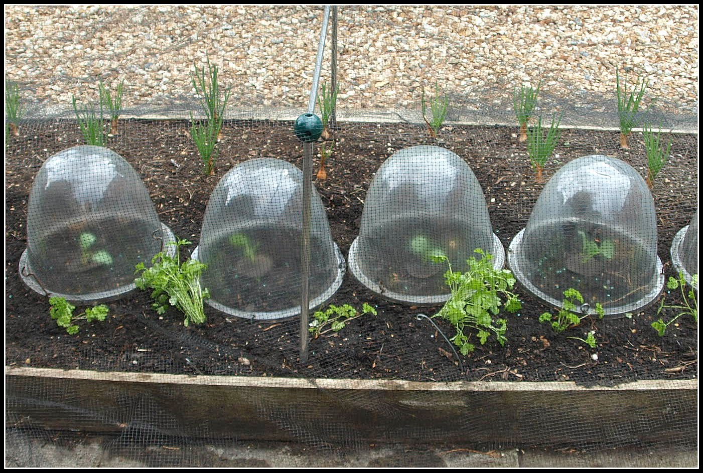 These Will Protect The Young Plants From Weather For Next Of Weeks In View Frequent Showers Rain And Hail We Have Been Having