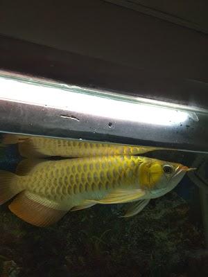 Jual Ikan Arwana Super red 10 cm
