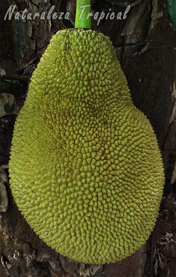 Vista de cerca del fruto donde se observan las protuberancias hexagonales, Artocarpus heterophyllum