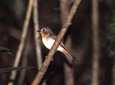 Lompobathan Flycatcher