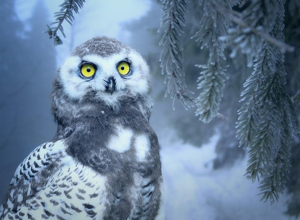 صورة بومة الثلج البيضاء - اجمل واحلى صور الطبيعة الجميلة والخلابة في العالم