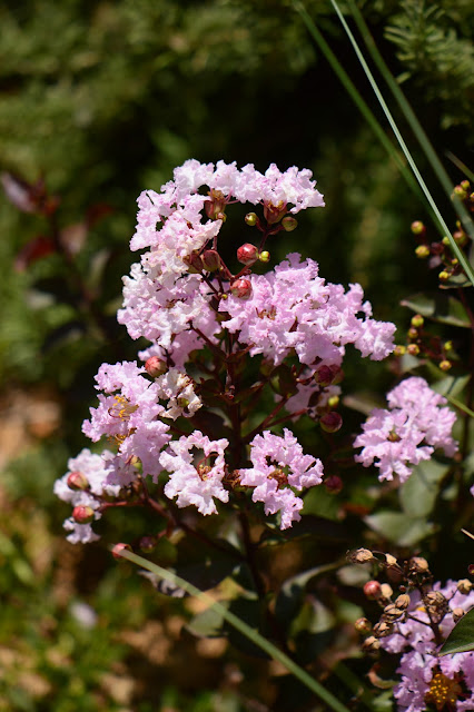 Tuesday View, small sunny garden, amy myers, desert garden, July, summer, lagerstroemia, rhapsody in pink