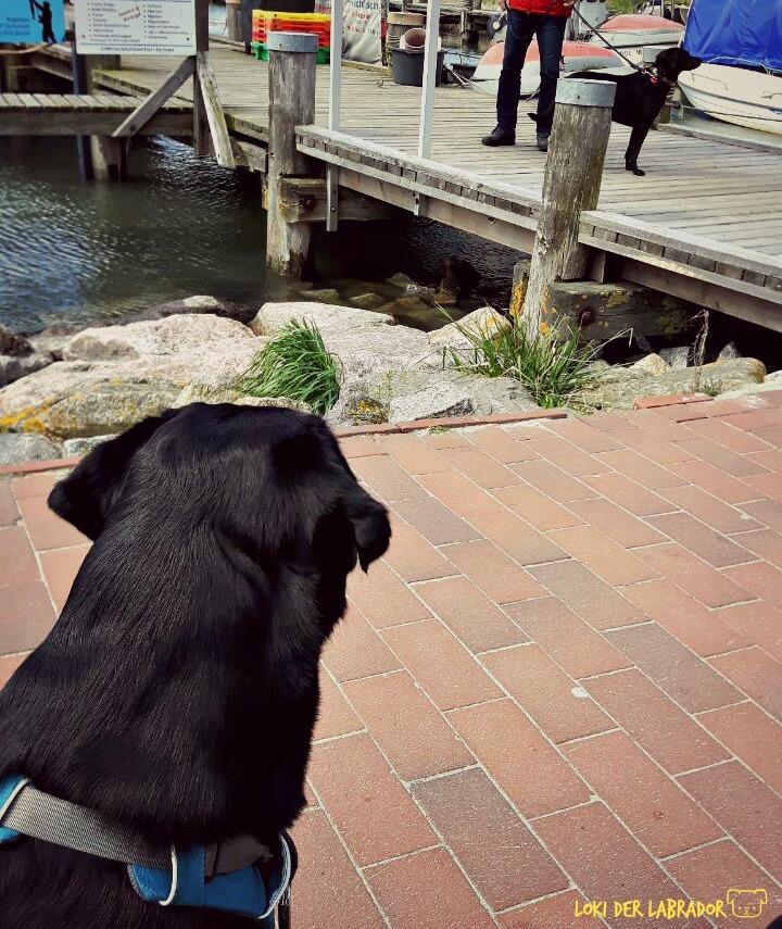 Schwarzer Labrador sieht anderen Hund