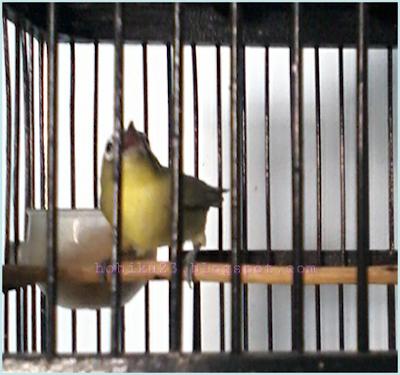 Burung pleci yang bervolume keras memang menjadi impian para sobat kicau mania di tanah ai Cara Mendongkrak Volume Burung Pleci