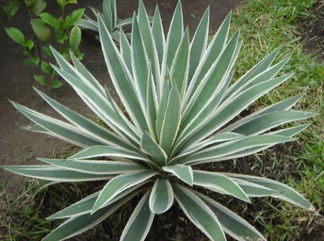 Assim como seus parentes espinhosos, as agaves são plantas do deserto e não necessitam de muita rega. O excesso de umidade apodrece a planta. No Verão, podemos regá-la com mais frequência, mas, no Inverno, basta regá-la de dois em dois meses  Das 183 espécies de agaves, uma bastante conhecida de nós é a espada-de-são-jorge, e as mais largamente cultivadas são:  Agave sisalana (para produção de sisal), Agave tequilana (para a produção de tequila) e Agave americana e Agave attenuata para fins ornamentais.