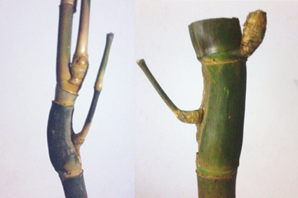 Galeri Bambu Unik Nusantara Bambu unik dan langka Pring